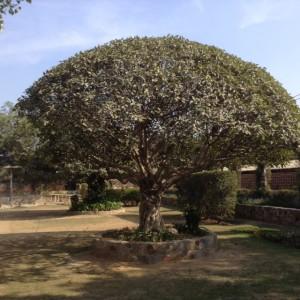 Gobin Sadan Tree
